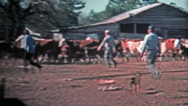 1971: Men corralling cattle for the local meat market.