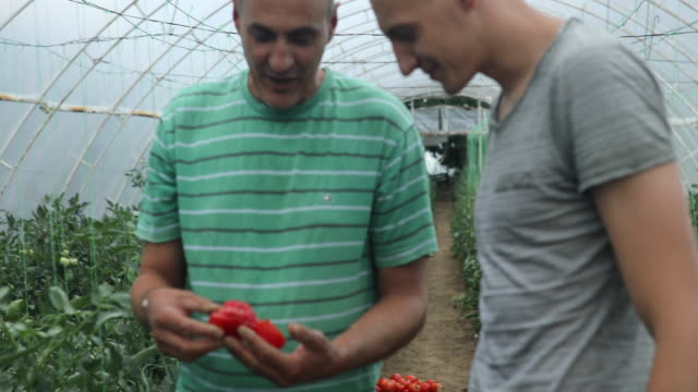 Men on farm Two men, mature and disability man working on a tomato farm indoors. homegrown produce stock videos & royalty-free footage