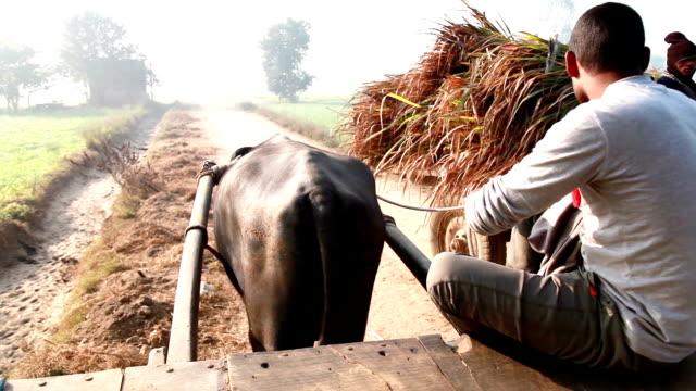 Men riding buffalo cart to the field video