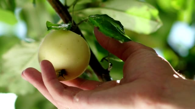 Men's hand reaches for the ripe apples on the tree and picking it