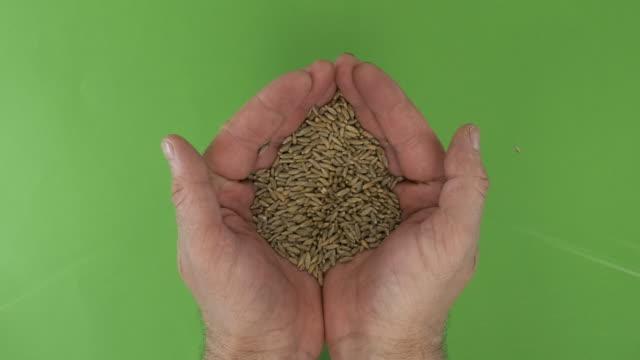 vidéos et rushes de les mains de mens tiennent un tas de grains de seigle sur un fond vert. vue du haut. - seigle grain