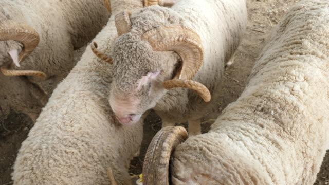 stockvideo's en b-roll-footage met merino schapen dier - vrouwtjesdier