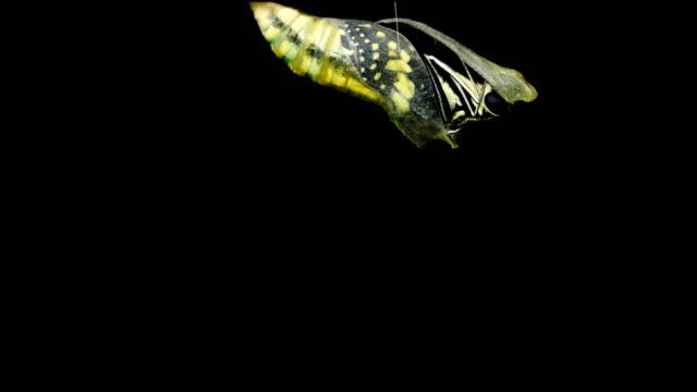 Metamorphosis av en kokong till fjäril video