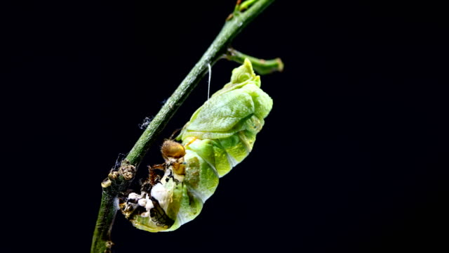 metamorphosis of caterpillar to cocoon time lapse - motyl filmów i materiałów b-roll