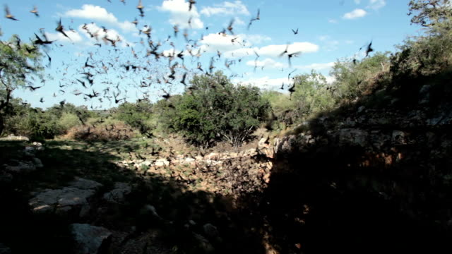 Mexican free-tailed bats flying outside cave Texas video