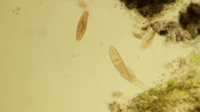 Micro organisms swimming video