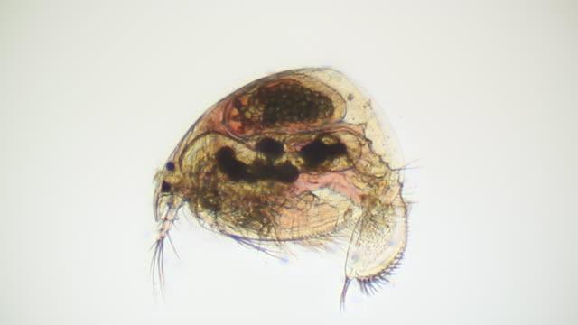 microorganism-daphnie - inneres organ eines tieres stock-videos und b-roll-filmmaterial