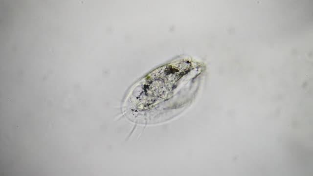 Microorganism - Euplotes video