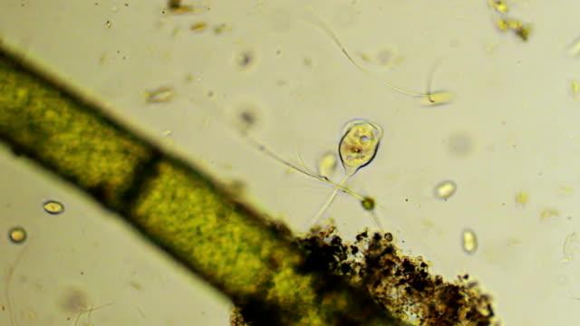 Microorganism - Vorticella video
