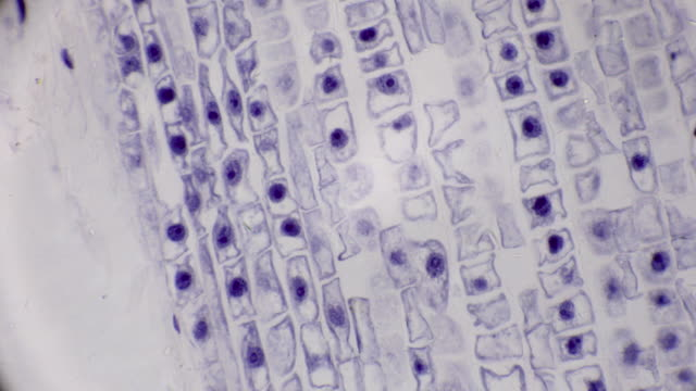 microscopic view of cells of broad bean plant cells - мембрана клетки стоковые видео и кадры b-roll