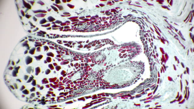 microscopic view of cross section of female pine cone - мембрана клетки стоковые видео и кадры b-roll