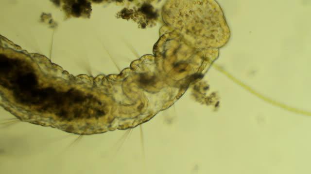Microscopic worm Aelosomna eats mud video