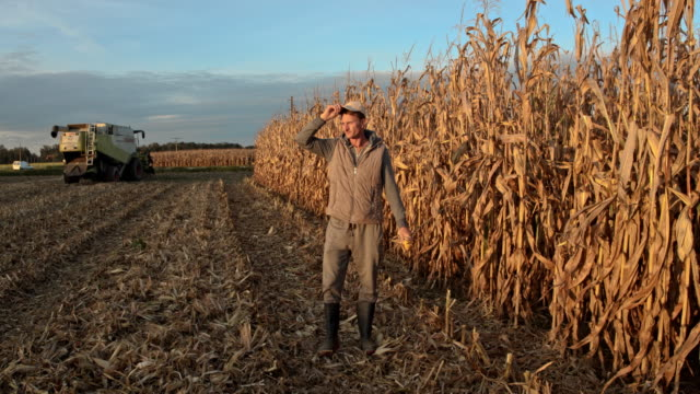 WS Mid adult farmer examining crops of corn