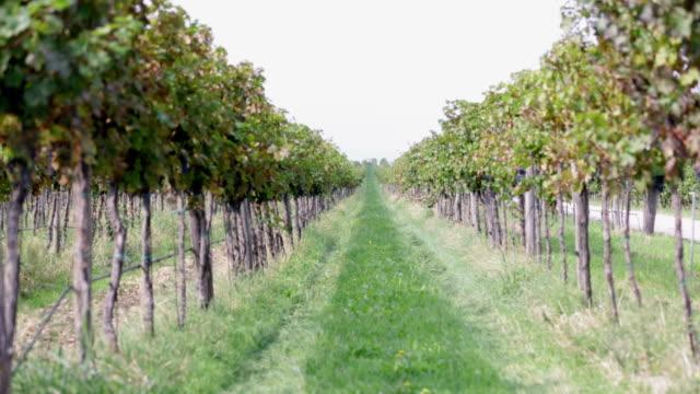hd: middle grassy section between two grapevines - vit rieslingdruva bildbanksvideor och videomaterial från bakom kulisserna