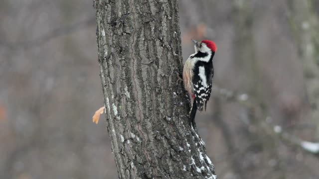 Middle spotted woodpecker during winter snowstorm in mountain forest video