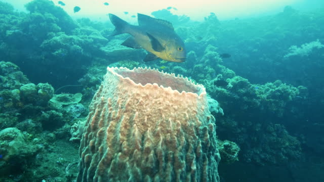 midnight snapper and barrel sponge at the wreck of the liberty in tulamben, bali - луциан стоковые видео и кадры b-roll