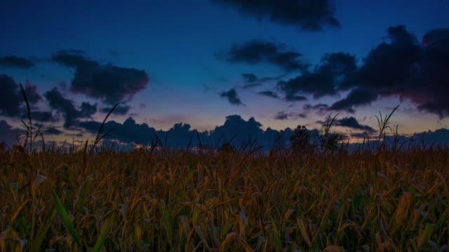 midwestern sunset over cornfields and farmers in iowa and nebraska time lapse full hd - дикая растительность стоковые видео и кадры b-roll