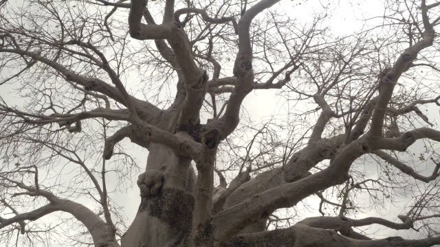 CLOSE UP: Mighty African baobab tree canopy without leaves before rain storm CLOSE UP, LOW ANGLE VIEW: Beautiful baobab canopy without leaves against cloudy sky before rain storm. Rough trunk protuberances and beautiful smooth grey cork bark on big old mighty African tree baobab tree stock videos & royalty-free footage