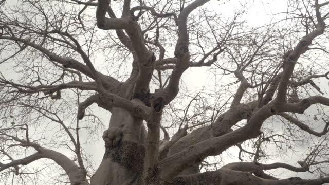 close up: mächtigen afrikanischen baobab baumkronen verlässt ohne vor regen sturm - affenbrotbaum stock-videos und b-roll-filmmaterial