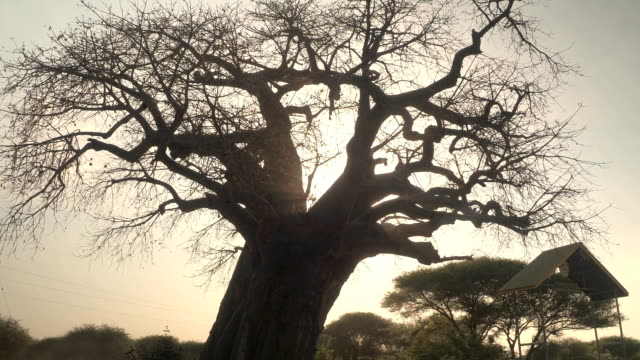 CLOSE UP: Mighty baobab tree canopy without leaves in Tarangire National Park CLOSE UP, LOW ANGLE VIEW: Stunning mighty baobab tree without leaves growing in hot and dry savanna landscape in beautiful Africa. Evening sun shining on open canopy in amazing arid savannah woodland baobab tree stock videos & royalty-free footage