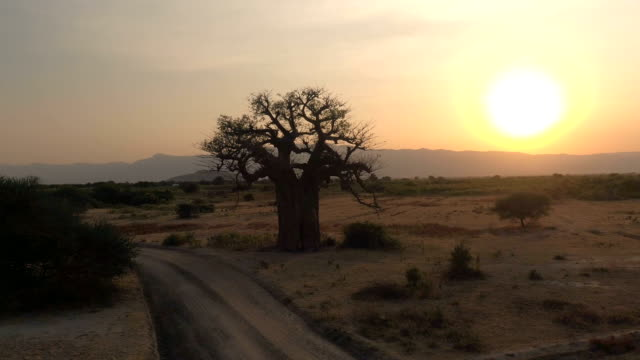 AERIAL: Mighty baobab tree in vast plain savannah field at golden light sunset AERIAL CLOSE UP: Flying around stunning big old baobab tree on arid plains of African savannah in beautiful Tarangire National Park. Picturesque landscape with mountains in background at golden sunset baobab tree stock videos & royalty-free footage