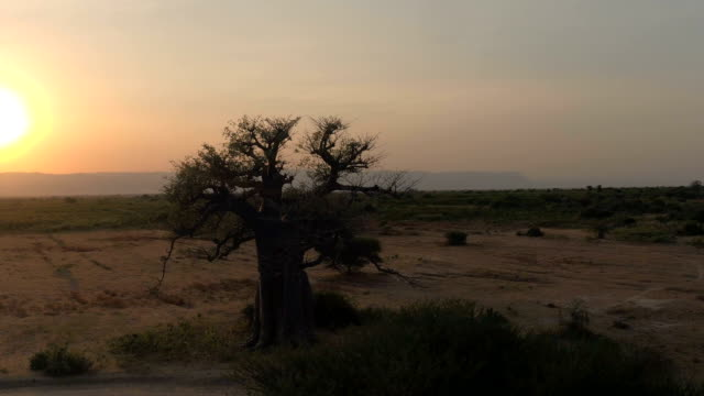 AERIAL: Mighty baobab tree in vast plain savannah field at golden light sunrise AERIAL CLOSE UP: Flying around stunning big old baobab tree on arid plains of African savannah in beautiful Tarangire National Park. Picturesque landscape with mountains in background at golden sunset baobab tree stock videos & royalty-free footage