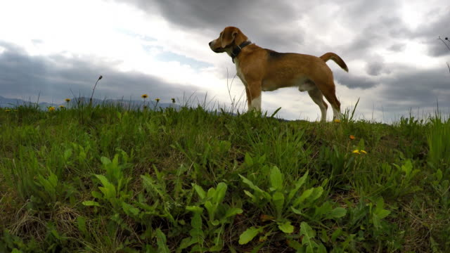 Mighty beagle during walking with mountain background video