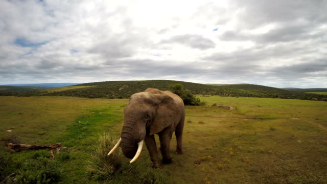 vídeos de stock e filmes b-roll de poderoso elefante na simples - arbusto
