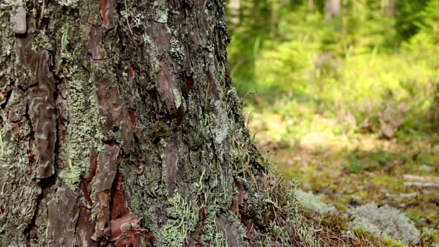 mighty tree huge pine tree video