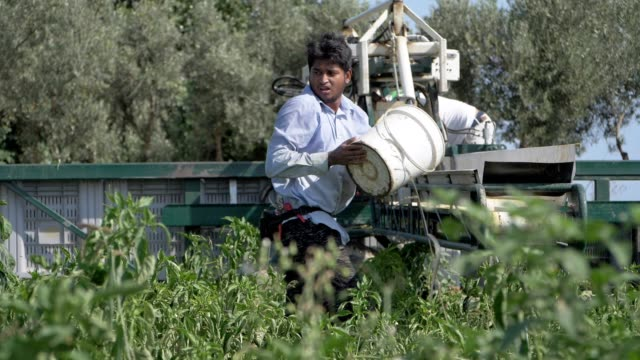migrant working in the field in south italy. Harvesting bell peppers-slow motion