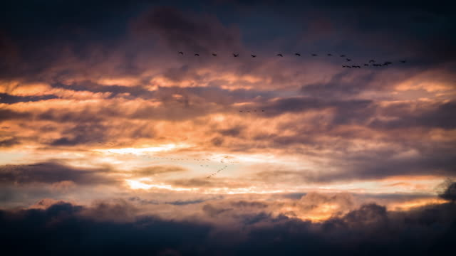 Migrating Birds flying in dramatic sunset sky video