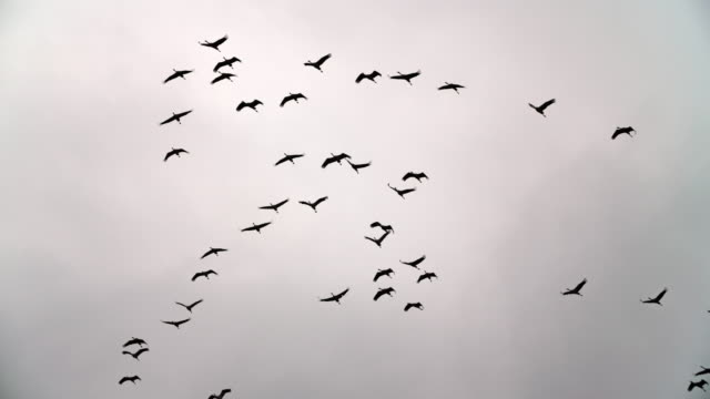 migrating birds - slow motion - stado filmów i materiałów b-roll