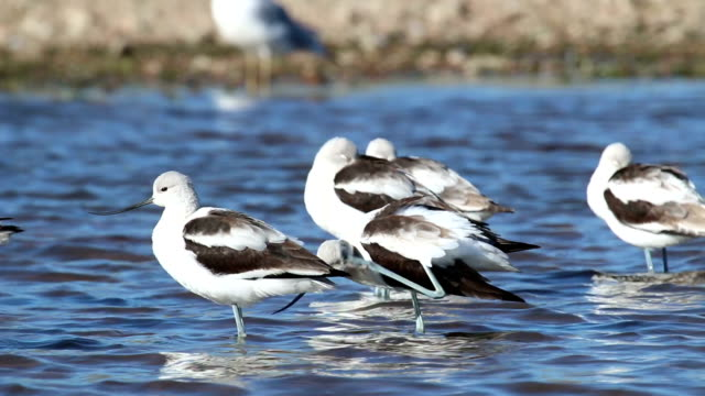 Migrating waterfowl birds feed in Chatfield State Park Colorado video