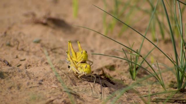 wandernder heuschreckenschwarm - feldheuschrecken stock-videos und b-roll-filmmaterial