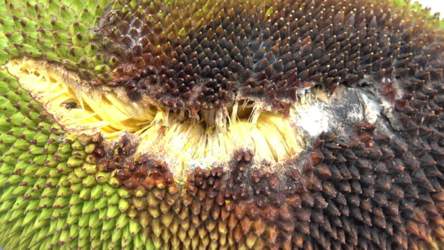 Mildew growth on jackfruit