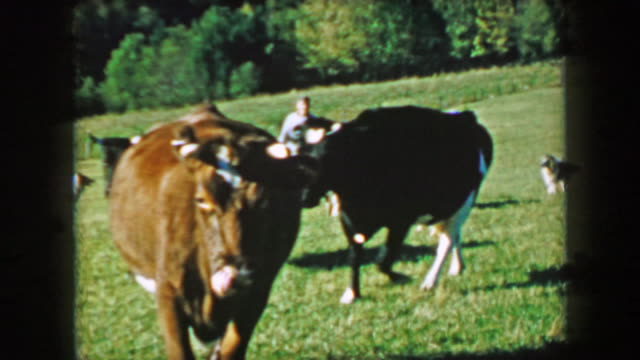 1957: Milk cows walking scenic summer green farm fields. video