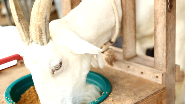 Milking a goat. video