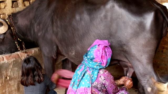 乳搾りバッファロー - 家畜点の映像素材/bロール