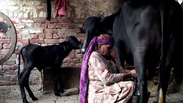 milking buffalo - farm animals stock videos and b-roll footage