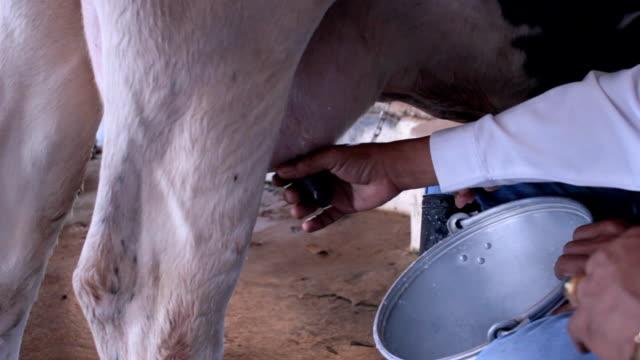 mungere le mucche a mano - lattaio video stock e b–roll