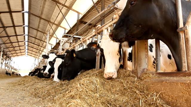 mungere le mucche in fattoria - lattaio video stock e b–roll