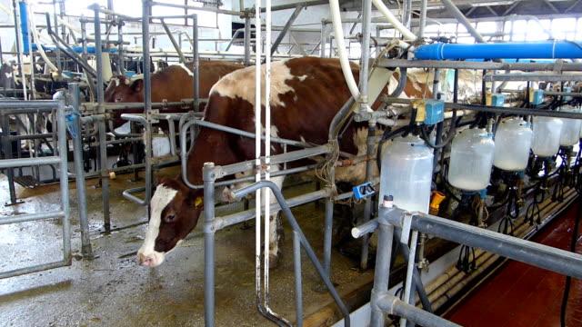 mungere le mucche in caseificio - lattaio video stock e b–roll