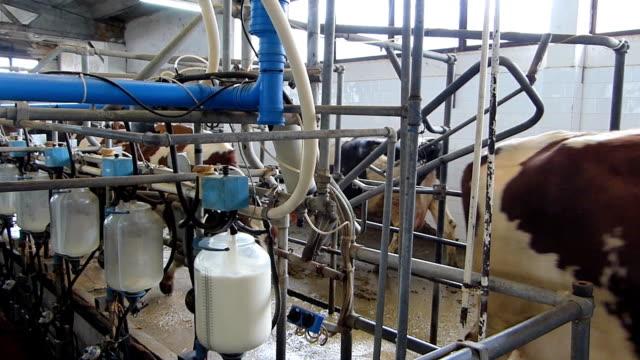 vídeos de stock e filmes b-roll de ordenhar vacas na quinta de laticínios - ordenhar