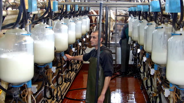 Milking Cows On Dairy Farm video