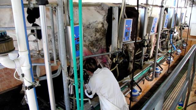 vídeos de stock e filmes b-roll de ordenhar vacas em farm - ordenhar