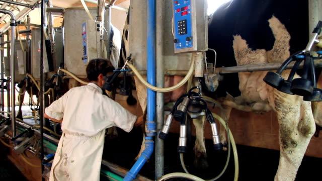 doić krów w gospodarstwie - żywy inwentarz filmów i materiałów b-roll
