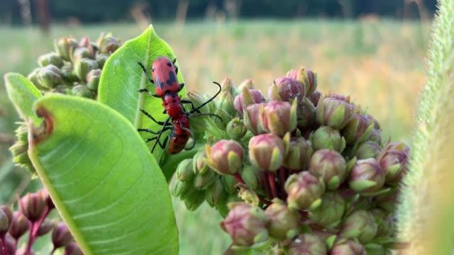 Milkweed Beetles Possibly Mating
