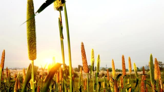 millet crop - haryana video stock e b–roll