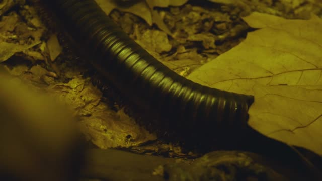 Millipede slowly crawling A close up shot of a centipede as it crawls under a leaf on the ground. goosebumps stock videos & royalty-free footage