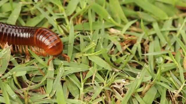 millipede walks green grass. - arto inferiore animale video stock e b–roll